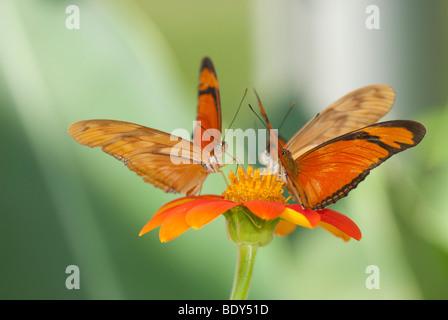 Three Dryas iulia Butterflies feeding on an orange coloured flower - Stock Photo