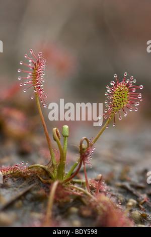 Oblong-leaved Sundew or Spoonleaf Sundew (Drosera intermedia) - Stock Photo