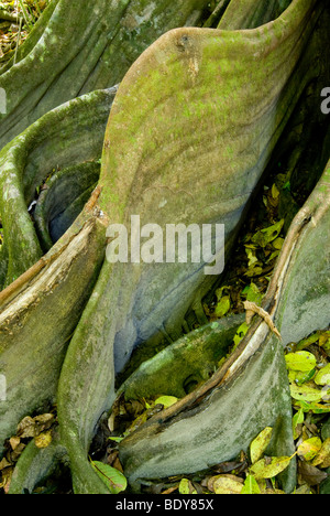 Buttress roots of large tree in tropical rainforest. - Stock Photo