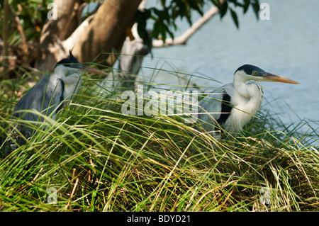 White-necked Heron (Ardea cocoi) - Stock Photo