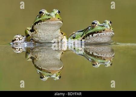 Water frogs (Rana esculenta, Pelophylax kl. esculentus) with reflection - Stock Photo