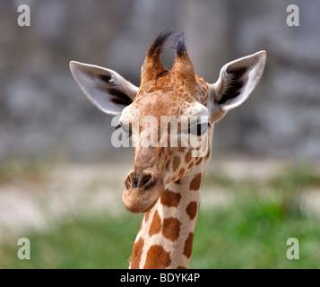 Baby giraffe; Giraffa camelopardalis - Stock Photo