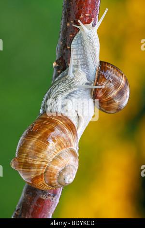 Two Roman snails, Edible Snail, Burgundy Snail (Helix pomatia) on a branch - Stock Photo