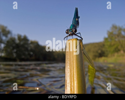 Banded Demoiselle Damselfly (Calopteryx splendens), male - Stock Photo