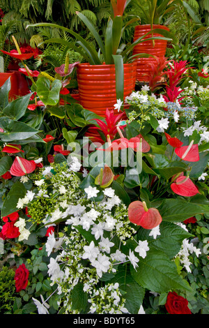 Christmas Display Of Fiesta Anthurium And White Shooting Stars