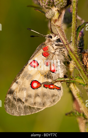 Apollofalter (Parnassius apollo) Apollo, Baden-Württemberg, Germany - Stock Photo