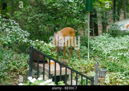 Whitetail deer, Odocoileus virginianus,  in garden eating flowers. - Stock Photo