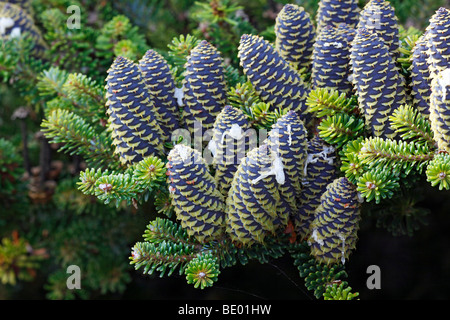 Korean Fir (Abies koreana), conifer branches with cones - Stock Photo