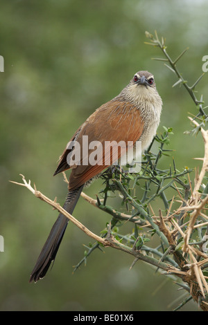 White-browed Coucal (Centropus superciliosus), Tanzania, Africa - Stock Photo