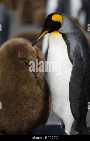 Endearing affectionate portrait pose of bright Adult and downy baby King Penguins, Gold Harbor, South Georgia, Antarctica - Stock Photo