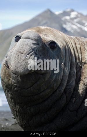 Funny close-up head and nose of big ugly beachmaster male elephant seal on beach smiling and making eye contact - Stock Photo
