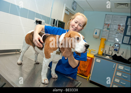 Veterinary nurse at a PDSA Animal Hospital examining a Beagle dog - Stock Photo