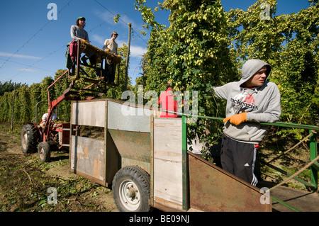 harvesting cut of hops in Kent Hop Garden - Stock Photo