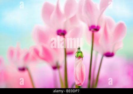 Close up of Pink Cyclaman flowers. Al's Nursery. Woodburn, Oregon - Stock Photo