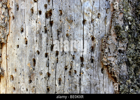 Dead spruce (Picea) full of woodpecker holes, Black Forest, Baden-Wuerttemberg, Germany, Europe - Stock Photo