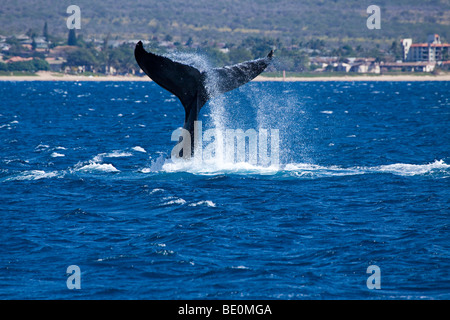 A humpback whale, Megaptera novaeangliae, lifts it's masive tail out of the Pacific off the northern end of Kihei, - Stock Photo