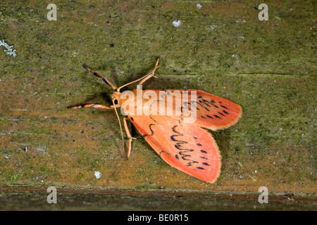 rosy footman moth; Miltochrista miniata - Stock Photo