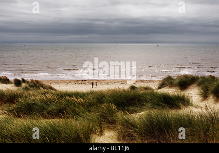 Marram Grass Ammophila growing on the sand dunes above the beach at Camber Sands in East Sussex. - Stock Photo