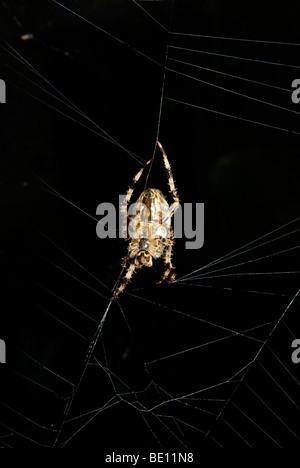 Underside big female garden orb weaving spider repairing her early morning light misty dew covered fine silk thread - Stock Photo