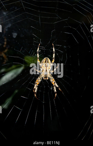 Underside big female garden orb weaving spider on her early morning light misty dew covered fine silk thread web - Stock Photo