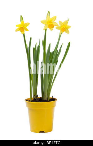 Yellow Daffodil Flowers growing in Pot - Stock Photo