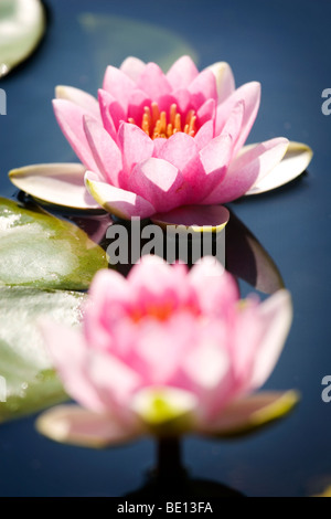 Two lotus flowers in water with shallow depth of field - Stock Photo