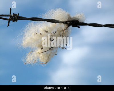 Sheeps wool caught on wire - Stock Photo