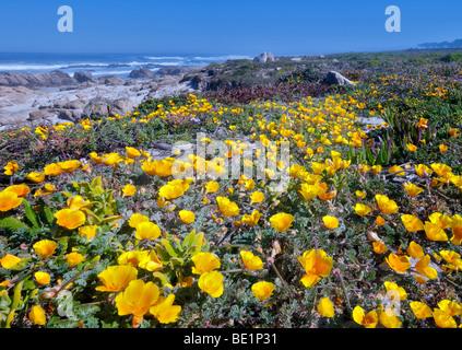 California Poppies and ocean on 17 Mile Drive. Pebble Beach, California - Stock Photo