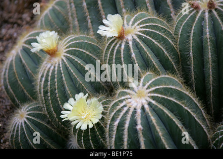 Parodia magnifica, Cactaceae, Southern Brazil, South America - Stock Photo