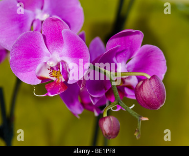 Closeup of the flower and buds of the orchid Phalaenopsis - Stock Photo