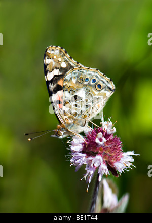 Painted lady butterfly feeding on wild mint plant - Stock Photo