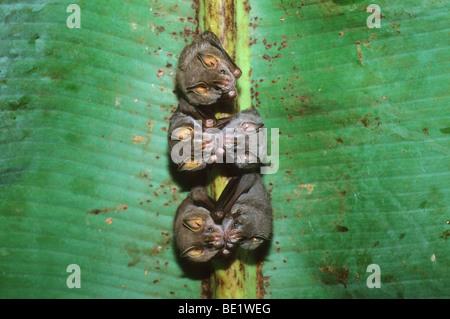 Tent-making Bats, (Uroderma bilobatum), in daytime, under banana leaf, Manu National Park, Peru. - Stock Photo