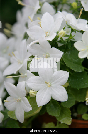Falling Stars or Italian Bellflower, Campanula isophylla 'Alba', Campanulaceae, Italy - Stock Photo