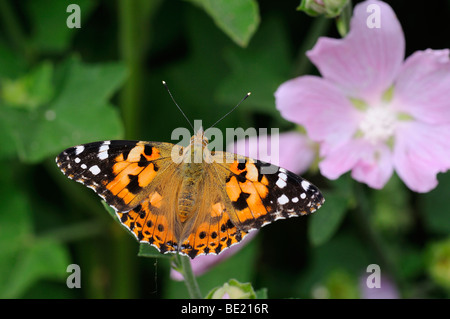 Painted Lady Butterfly (Vanessa cardui) resting on Lavatera plant, Oxfordshire, UK. - Stock Photo