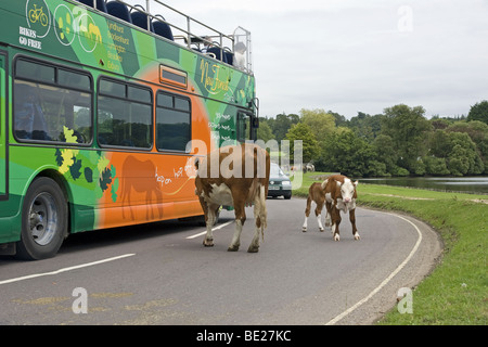 New Forest Congestion in Beaulieu Hampshire courtesy of free-roaming Hereford cattle - Stock Photo