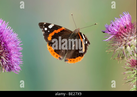 Red Admiral Butterfly Vanessa atalanta In flight free flying High Speed Photographic Technique - Stock Photo