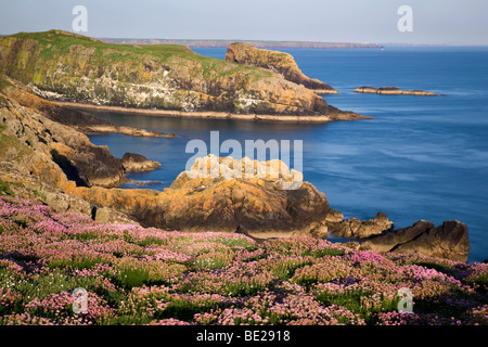 skomer; looking over The Wick from Skomer Head to skokholm with thrift in the foreground; wales - Stock Photo
