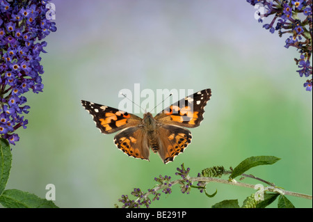 Painted Lady Butterfly Cynthia cardui adult in flight high speed photographic technique flying over buddelia migrant - Stock Photo