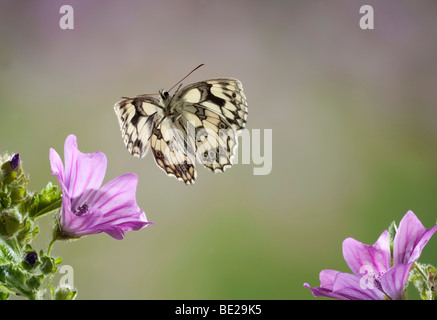 Marbled White Butterfly Melanargia galathea In flight free flying High Speed Photographic Technique - Stock Photo