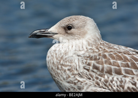 Juvenile Yellow legged gull (Larus michahellis), Norfolk, England - Stock Photo
