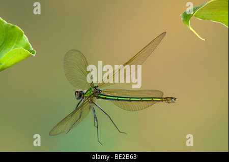 Banded Demoiselle Damselfly Calopteryx splendens female In flight free flying High Speed Photographic Technique - Stock Photo