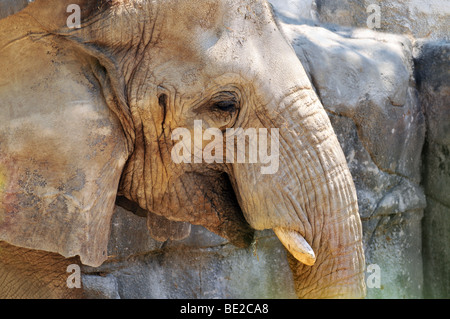 Close up portrait of African elephant - Stock Photo