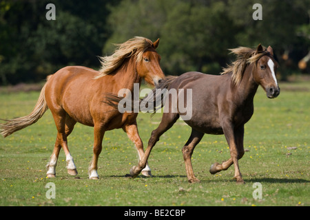 New Forest Pony  Ponies meadow England Hampshire - Stock Photo