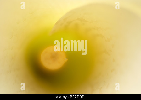 Lily, white lily, lilium, stamen, dew drop, close-up, close up, peace, flower, flowers, white, macro, arum lily - Stock Photo