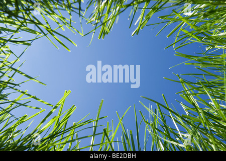 Looking up through grass from ground level. - Stock Photo