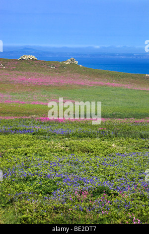 bluebells and red campion in flower on the island of skomer; looking across to the welsh coast - Stock Photo