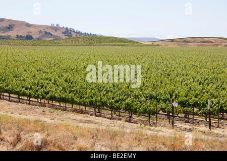 Vineyard in Central California - Stock Photo