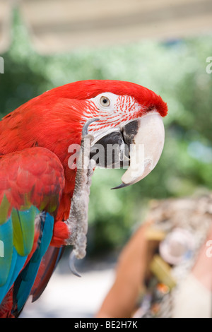 large parrot lifting it's claw to wave and giving a high five - Stock Photo