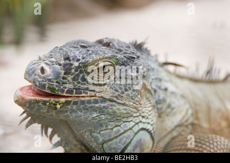 closeup of blue green iguana just after eating his salad - Stock Photo
