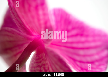 pink butterfly orchid flower - Stock Photo